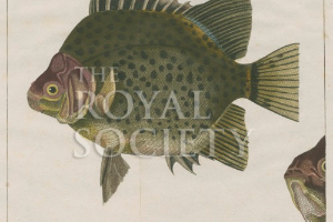 Spotted scat | Royal Society Picture Library
